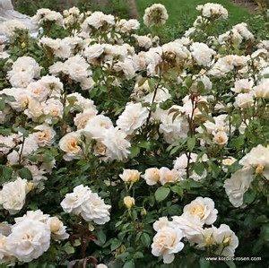 Die LIONS-Rose kaufen | LIONS Elmshorn